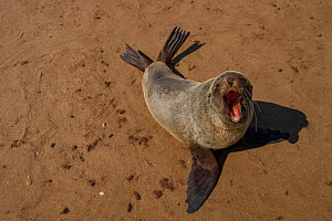 Cape fur seal (Arctocephalus pusillus)  hauled out, calling, Cape Cross, Namibia.  -  Jen Guyton