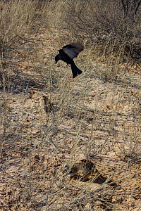 Fork-tailed drongo (Dicrurus adsimilis) hovers over a foraging Meerkat (Suricata suricatta). The drongo will imitate the alarm call of other birds and then swoop down and steal the food the meerkat ha...  -  Jen Guyton