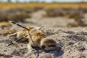 Meerkat (Suricata suricatta) barely alive, with Cape porcupine (Hystrix africaeaustralis) quills through his abdomen. Kalahari Desert, South Africa. - Jen Guyton