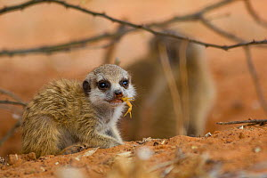 Meerkat pup (Suricata suricatta) chewing on a small Parabuthus scorpion. Adult meerkats will teach younger meerkats how to disarm a scorpion by biting off the stinger before eating it. Kalahari Desert... - Jen Guyton