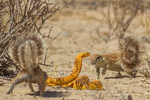 Cape ground squirrels (Xerus inauris) mobbing a Cape cobra (Naja nivea) that had come too close to their burrow in the Kalahari Desert, South Africa. - Jen Guyton