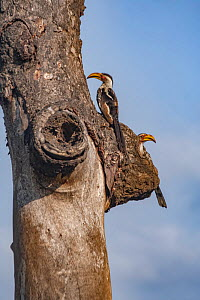 Southern yellow-billed hornbills (Tockus leucomelas) guarding their nest hole in a tree, Kruger National Park, South Africa.  -  Jen Guyton