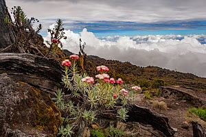 Helichrysum plant flowers on the Machame Trail, high on the slopes of Mount Kilimanjaro, Tanzania. May 2008 - Jen Guyton