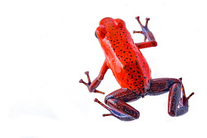 Strawberry poision arrow frog (Oophaga pumilio) photographed in studio at La Selva Biological Station, Costa Rica.  -  Jen Guyton