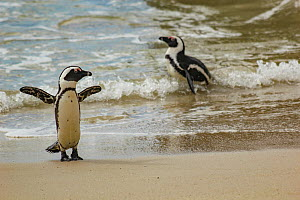 African penguins (Spheniscus demersus) waddling along Boulders Beach, near Simon's Town, South Africa.  -  Jen Guyton