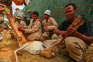 People catching Springbok (Antidorcas marsupialis) to be sold from this game reserve to another, where they would be bred or hunted for meat and trophies .Kalahari Desert, South Africa March 2011  -  Jen Guyton