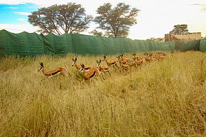Springbok (Antidorcas marsupialis) are herded by helicopter into a funnel made of tarp and netting. Kalahari Desert, South Africa. Several dozen of these springbok were being sold from this game reser...  -  Jen Guyton