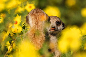 Meerkat  (Suricata suricatta+ two pups huddle among a field of yellow devil's thorn flowers (Suricata suricatta) in the Kalahari Desert, South Africa. - Jen Guyton