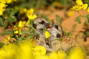 Meerkat (Suricata suricatta) two pups playing among a field of yellow devil's thorn flowers (Suricata suricatta) in the Kalahari Desert of South Africa. - Jen Guyton