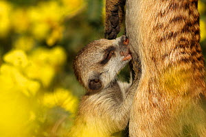 "Meerkat (Suricata suricatta) pup nursing mother, or from a lactating family member -- meerkat family groups ""allolactate"", which means that when the dominant female has a litter of pups, other adult f... - Jen Guyton"