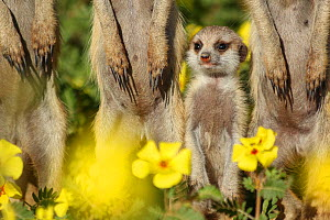 Meerkat pup (Suricata suricatta) standing among its family in a field of Devilthorn flowers (Tribulus zeyheri). Kalahari Desert, South Africa. - Jen Guyton