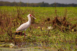 African spoonbill (Platalea alba) on the floodplain of Gorongosa National Park, Mozambique. - Jen Guyton