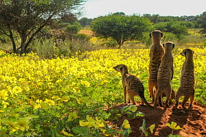 Meerkats (Suricata suricatta) four looking out over a field of Devil's thorn flowers (Tribulus zeyheri) Kalahari Desert, South Africa. - Jen Guyton