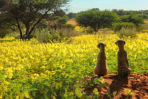 Meerkats (Suricata suricatta) two look out over a field of Devil's thorn flowers (Tribulus zeyheri) in the Kalahari Desert, South Africa. - Jen Guyton