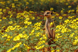 Meerkat (Suricata suricatta) standing among a field of Devil's thorn flowers (Tribulus zeyheri) in the Kalahari Desert, South Africa. - Jen Guyton