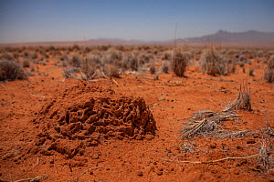 Lump of hardened earth criss-crossed with tiny tunnels signifies the presence of a termite nest inside a fairy circle in the Namib Desert, Namibia.  February 2015  -  Jen Guyton