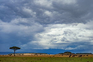 Rainstorm  clearing over savannah at the boundary of the Masai Mara National Reserve and Serengeti National Park with Blue wildebeest (Connochaetes taurinus mearnsi) migrating. Masai Mara, Kenya. Octo... - Jen Guyton