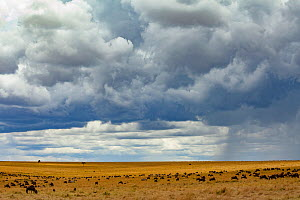 Rainstorm  clearing over  savannah at the boundary of the Masai Mara National Reserve and Serengeti National Park with  Blue  wildebeest (Connochaetes taurinus mearnsi) migrating. Masai Mara, Kenya. - Jen Guyton