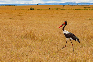 Saddle-billed stork (Ephippiorhynchus senegalensis) walking across the savanna in the Maasai Mara National Reserve, Kenya. - Jen Guyton