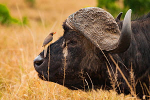Yellow-billed oxpecker (Buphagus africanus) sitting on the nose of an African buffalo (Syncerus caffer) in the Masai Mara Reserve, Kenya.  -  Jen Guyton
