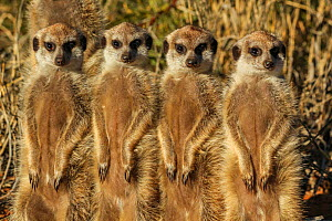 Meerkat (Suricata suricatta) four siblings stand in line among  grass, Kalahari Desert, South Africa  -  Jen Guyton