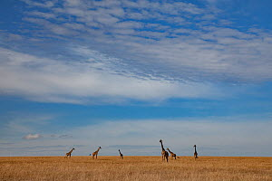 Reticulated giraffes (Giraffa camelopardalis reticulata) in distance on wide plains, Maasai Mara Reserve, Kenya. - Jen Guyton