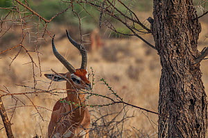 Gerenuk (Litocranius walleri) male browses leaves  Samburu National Reserve, Kenya  -  Jen Guyton