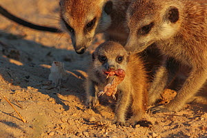 Meerkat pup (Suricata suricatta) eating a gecko as its adult family members look on in the Kalahari Desert, South Africa. Small repro only. - Jen Guyton