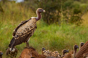 Ruppell's griffon vultures 1+Gyps rueppelli+2 on an elephant carcass 1+Loxodonta africana+2; the elephant was killed by government officials after it killed a man. Laikipia Plateau, Kenya  -  Jen Guyton