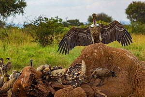 Ruppell's griffon vultures (Gyps rueppelli) and white-backed vultures (Gyps africanus) squabble over an elephant carcass (Loxodonta africana). the elephant was killed by government officials after it...  -  Jen Guyton