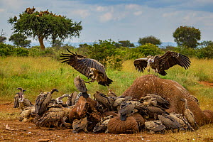 Ruppell's griffon vultures (Gyps rueppelli) and white-backed vultures (Gyps africanus) squabble over an elephant carcass (Loxodonta africana); the elephant was killed by government officials after it...  -  Jen Guyton