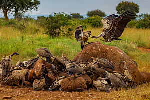 Ruppell's griffon vultures (Gyps rueppelli) and white-backed vultures (Gyps africanus) squabble over an elephant carcass (Loxodonta africana) The elephant was killed by government officials after it k...  -  Jen Guyton