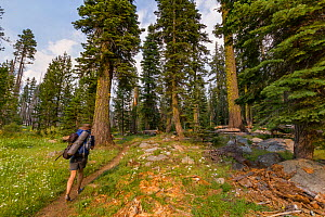Hiker walking through a tall grove of trees on a backcountry trail in the Hetch Hetchy region, Yosemite National Park, California, USA.  -  Jen Guyton