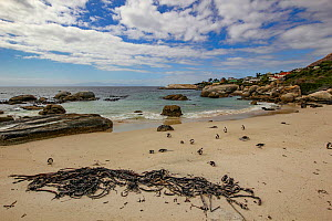 Boulders Beach, home to one of only three known colonies of African penguins (Spheniscus demersus), Simon's Town, South Africa.  -  Jen Guyton