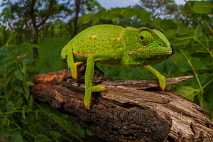 Flap-necked chameleon (Chamaeleo dilepis) foraging for prey in bush. Gorongosa National Park, Mozambique - Jen Guyton