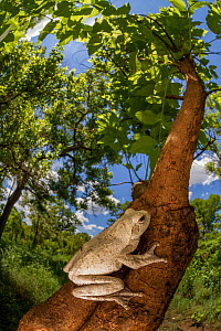 Nocturnal foam-nest frog (Chiromantis sp.) resting on a tree in Gorongosa National Park, Mozambique. - Jen Guyton