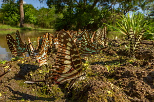 Several species of butterfly from the genus Graphium 'puddling' in Gorongosa National Park, Mozambique.  -  Jen Guyton