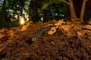 East African shovel-snout snake (Prosymna stuhlmanni) in undergrowth in Gorongosa National Park, Mozambique  -  Jen Guyton