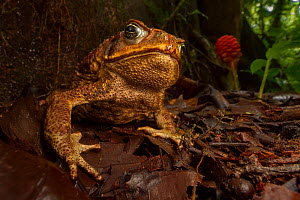 Cane toad (Rhinella marina) in native habitat. Las Cruces Biological Station, Costa Rica.  -  Jen Guyton