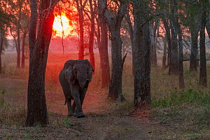 African elephant (Loxodonta africana) tuskless adult female in woodland  at sunset, Gorongosa National Park, Mozambique. The park experienced heavy poaching during the Mozambican Civil War, and elepha... - Jen Guyton