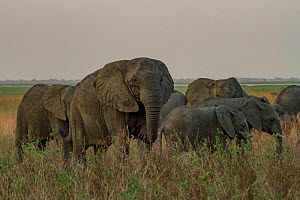 African elephant (Loxodonta africana) tuskless female, leading her group in Gorongosa National Park, Mozambique. The park experienced heavy poaching during the Mozambican Civil War, and elephants were... - Jen Guyton