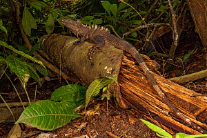 Black iguana (Ctenosaurus similis) in rainforest, whilst juveniles are arboreal adults of this species are ground dwelling. Costa Rica  -  Jen Guyton