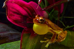 Hourglass tree frog (Dendropsophus ebraccatus) male calling for mate, Carara National Park, Costa Rica. - Jen Guyton