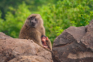 Olive baboon (Papio anubis) mother and baby, outside of Lake Manyara National Park, Tanzania. - Jen Guyton