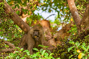 Olive baboon (Papio anubis) eating ripe fruit in a fig tree (Ficus sp.) outside of Lake Manyara National Park, Tanzania. - Jen Guyton
