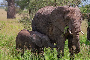 African elephant (Loxodonta africana) mother with calf, foraging together in Serengeti National Park, Tanzania.  -  Jen Guyton