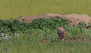 Burrowing owl (Athene cunicularia) with prey, Grasslands National Park, Val Marie, Saskatchewan, Canada. July  -  Todd  Mintz