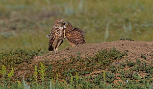 Burrowing owl (Athene cunicularia) adult feeding chick, Grasslands National Park, Val Marie, Saskatchewan, Canada. July  -  Todd  Mintz