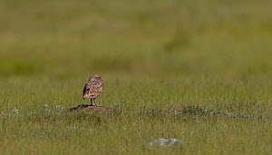 Burrowing owl (Athene cunicularia) on ground,  Grasslands National Park, Val Marie, Saskatchewan, Canada. July  -  Todd  Mintz