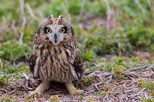 Short-eared owl (Asio flammeus) on ground, Saskatchewan, Canada.  -  Todd  Mintz